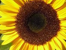 Foto Sonnenblume